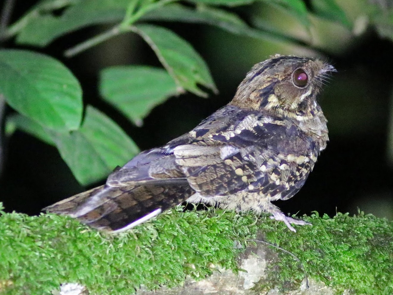 Black-shouldered Nightjar - Peter Alfrey