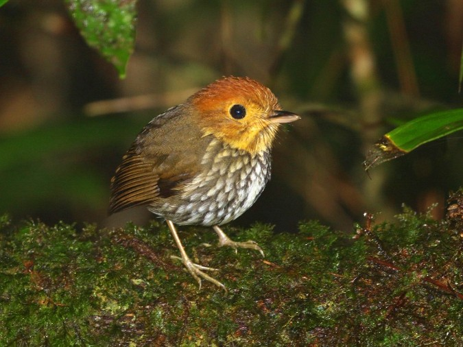 Scallop-breasted Antpitta - Margareta Wieser