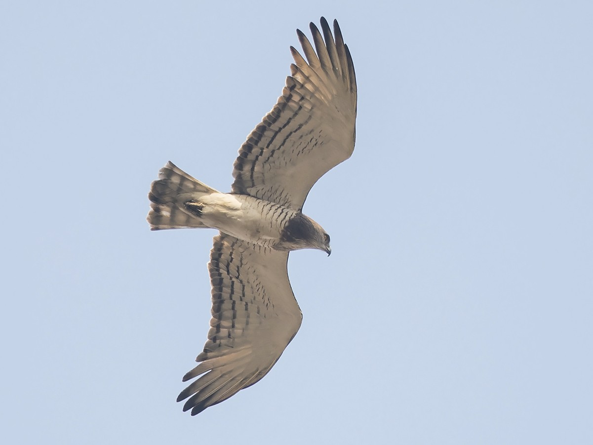 Beaudouin's Snake-Eagle - Niall D Perrins