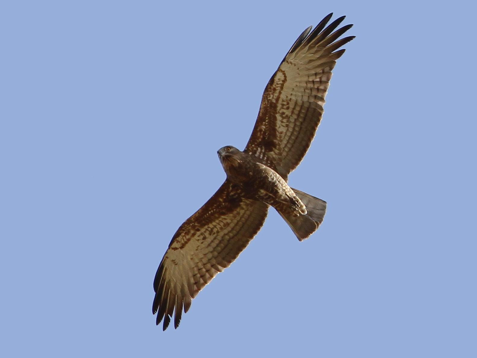 Beaudouin's Snake-Eagle - Christoph Moning