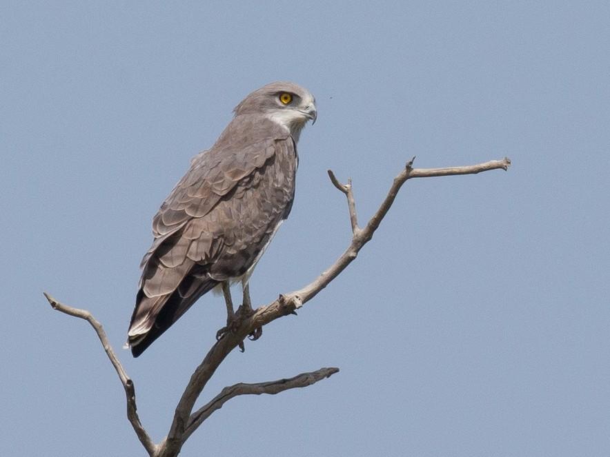 Beaudouin's Snake-Eagle - Chris Wood
