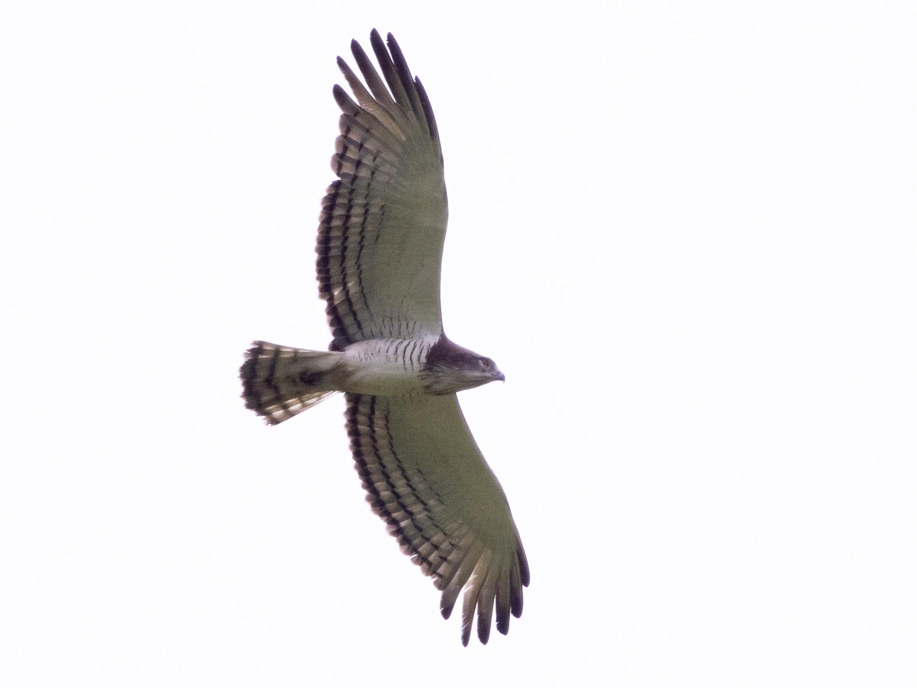 Beaudouin's Snake-Eagle - Gael Vande weghe