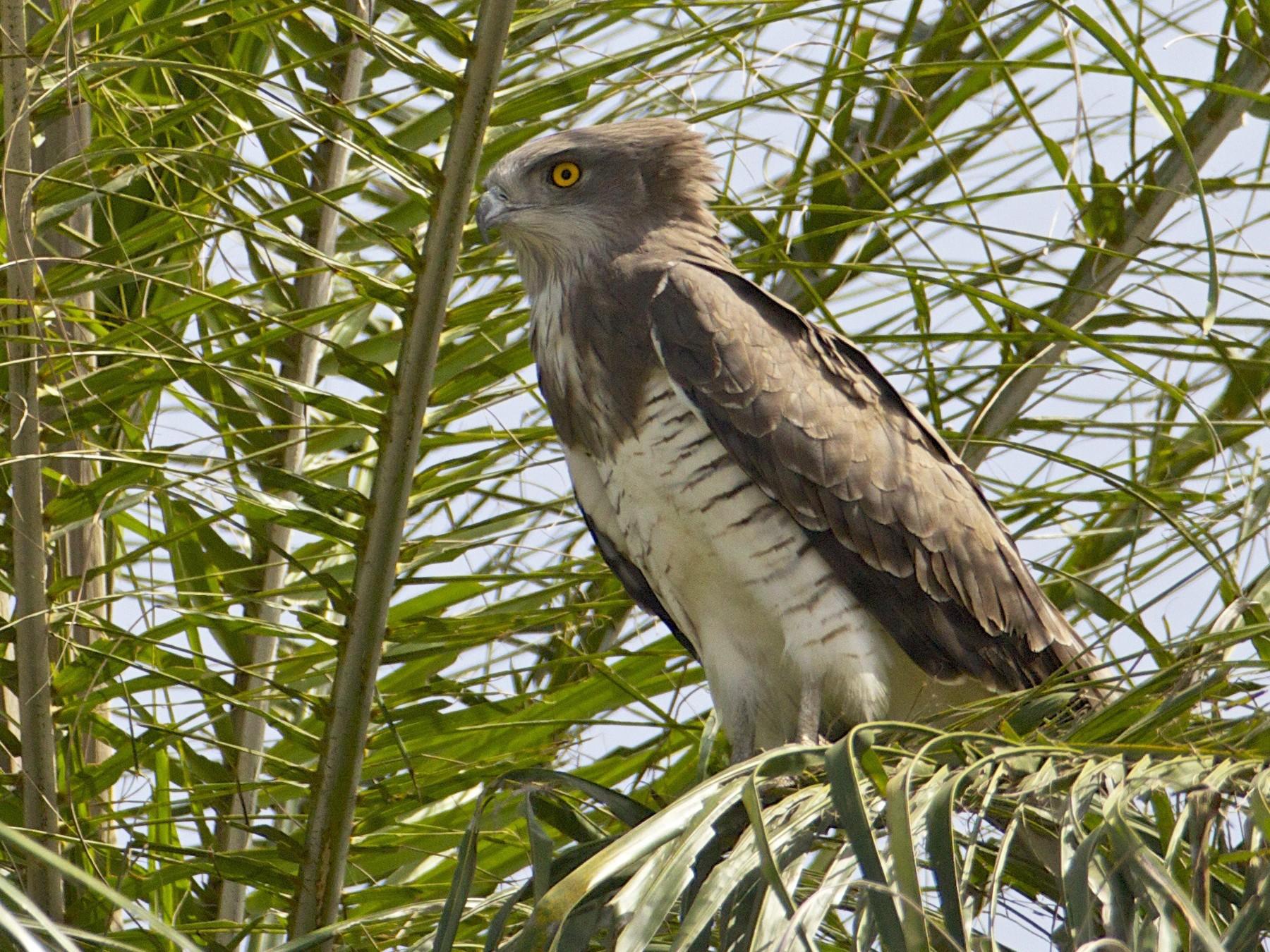 Beaudouin's Snake-Eagle - Eric Barnes