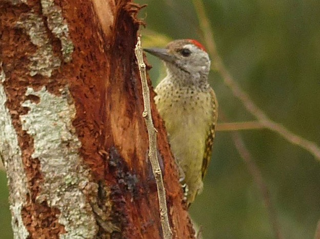 Speckle-breasted Woodpecker - Steve Clark