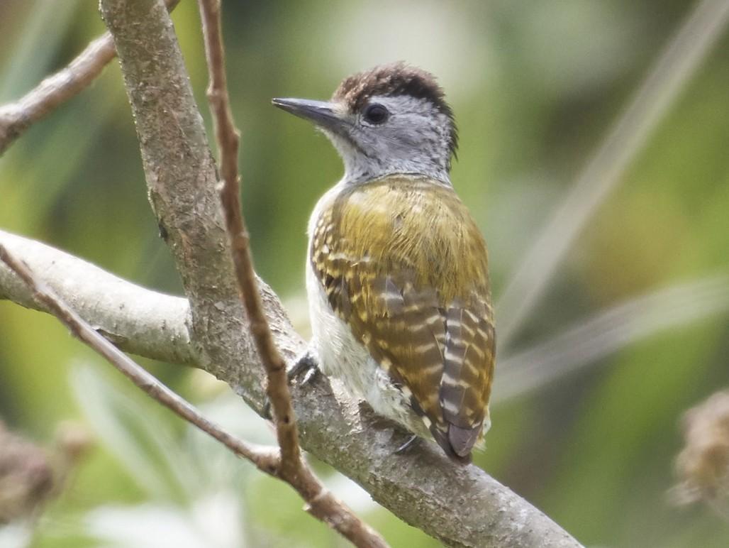 Speckle-breasted Woodpecker - S S Cheema