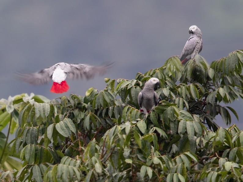 Gray Parrot - Dubi Shapiro
