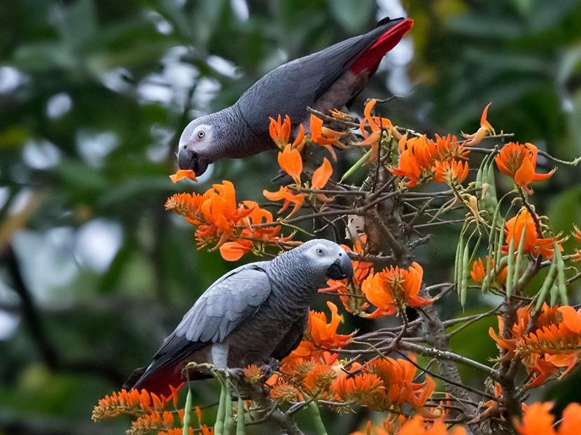 Gray Parrot - Lars Petersson