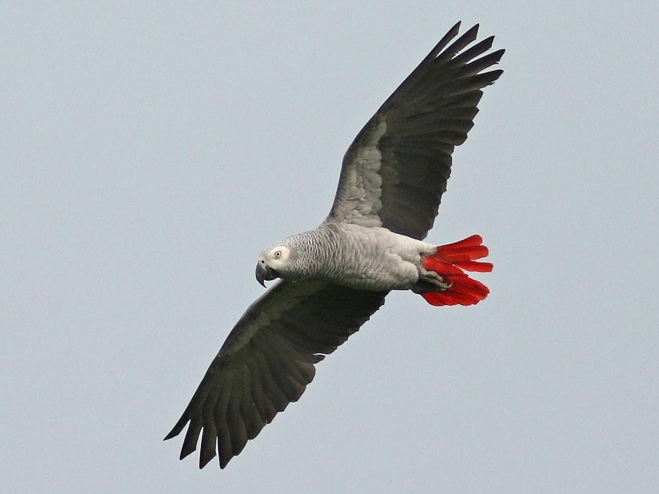 Gray Parrot - Peter Alfrey