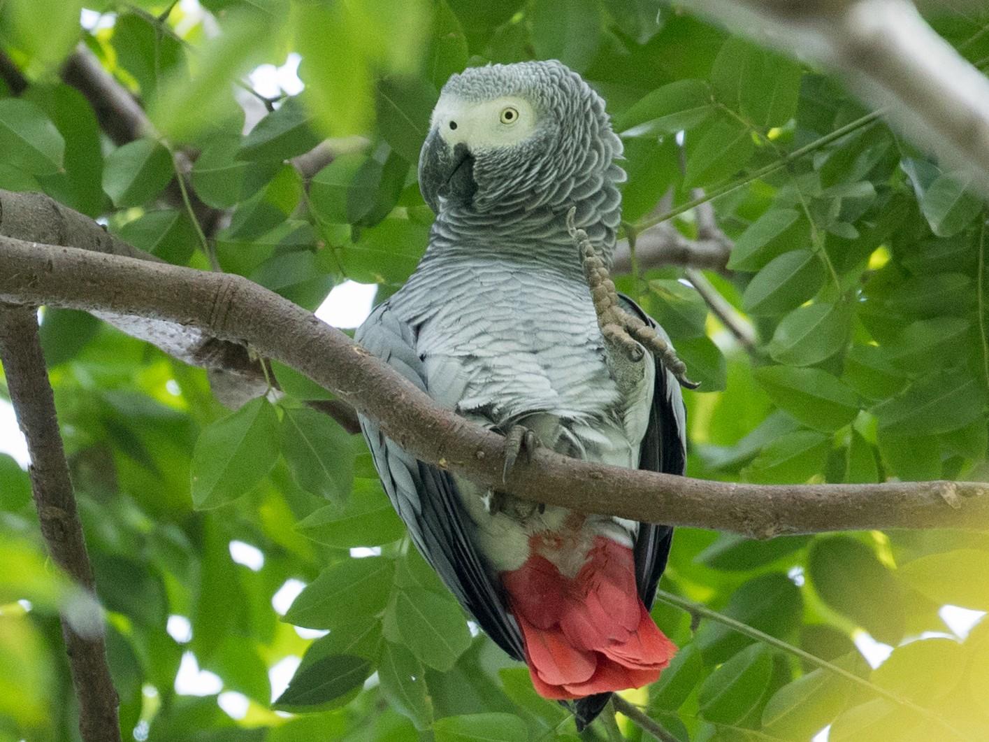 Gray Parrot - Ian Davies