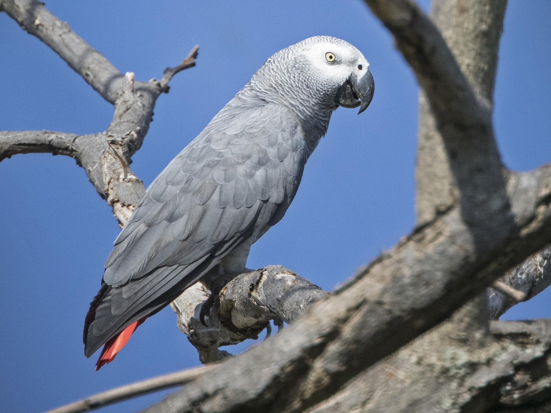 Gray Parrot - Zak Pohlen