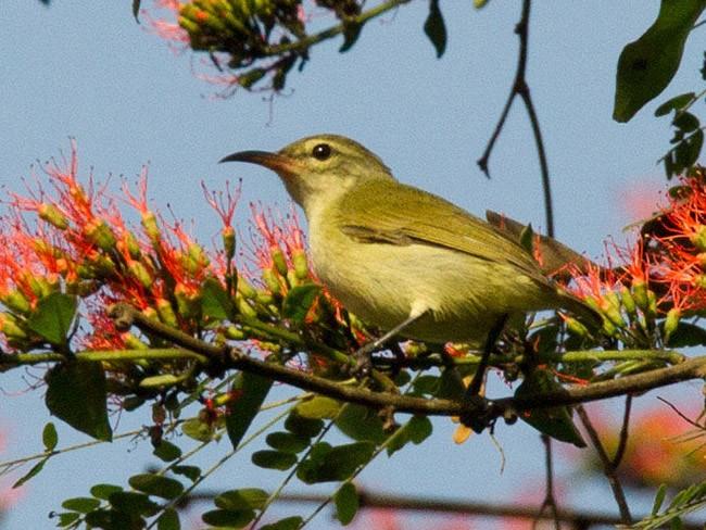 Little Green Sunbird - Lars Petersson