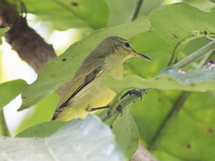 Little Green Sunbird - Ian Davies