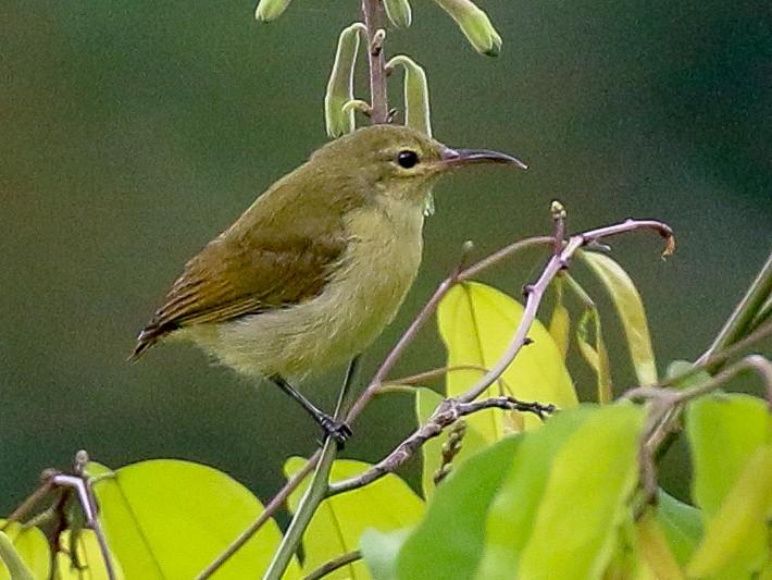 Little Green Sunbird - Tommy Pedersen