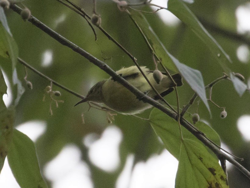 Little Green Sunbird - Michael Todd