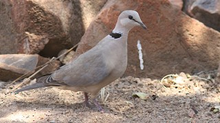 - Ring-necked Dove
