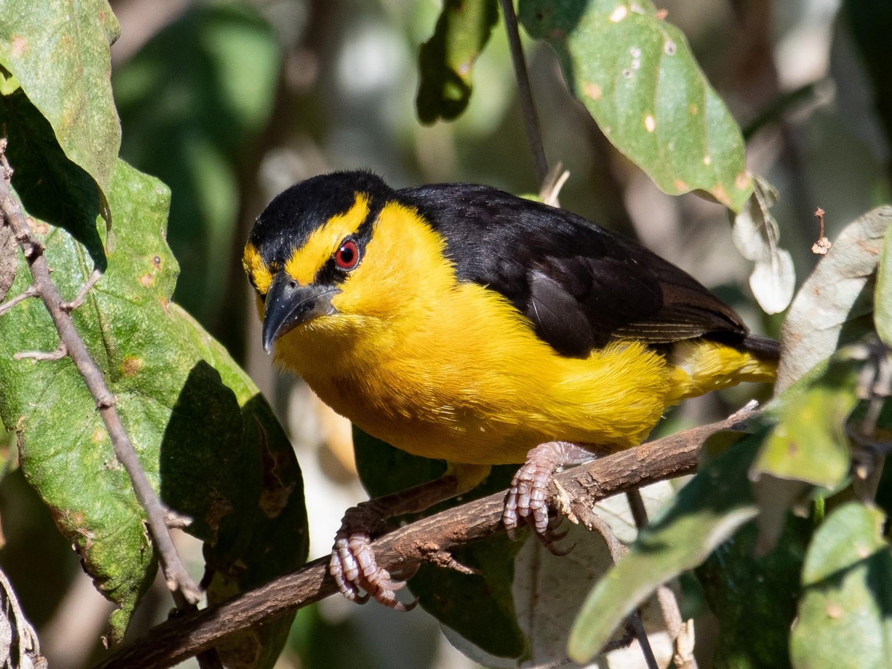 Black-necked Weaver - T I
