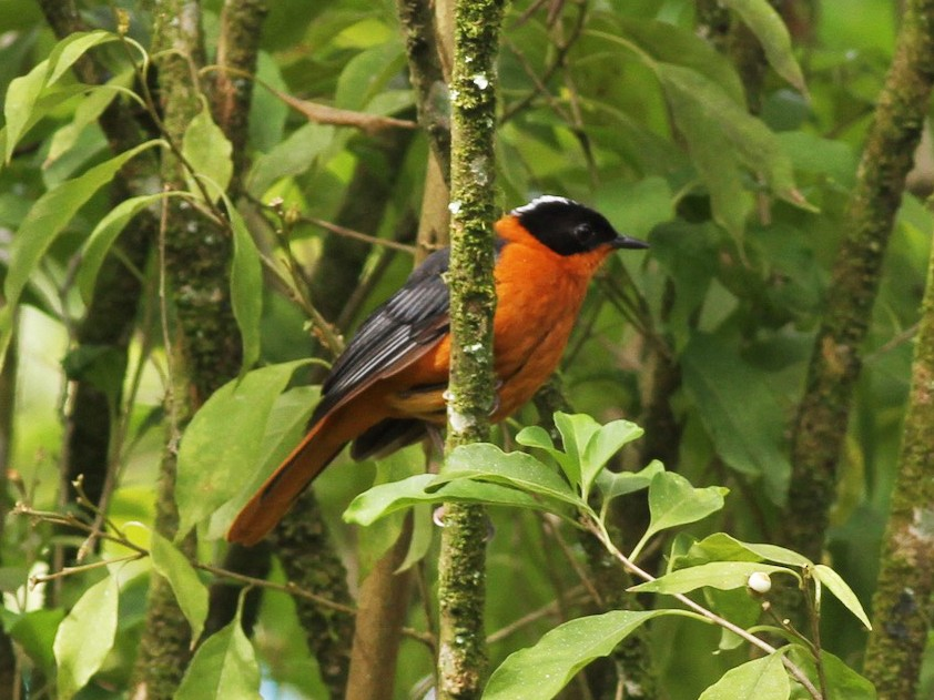Snowy-crowned Robin-Chat - Anabel&Geoff Harries