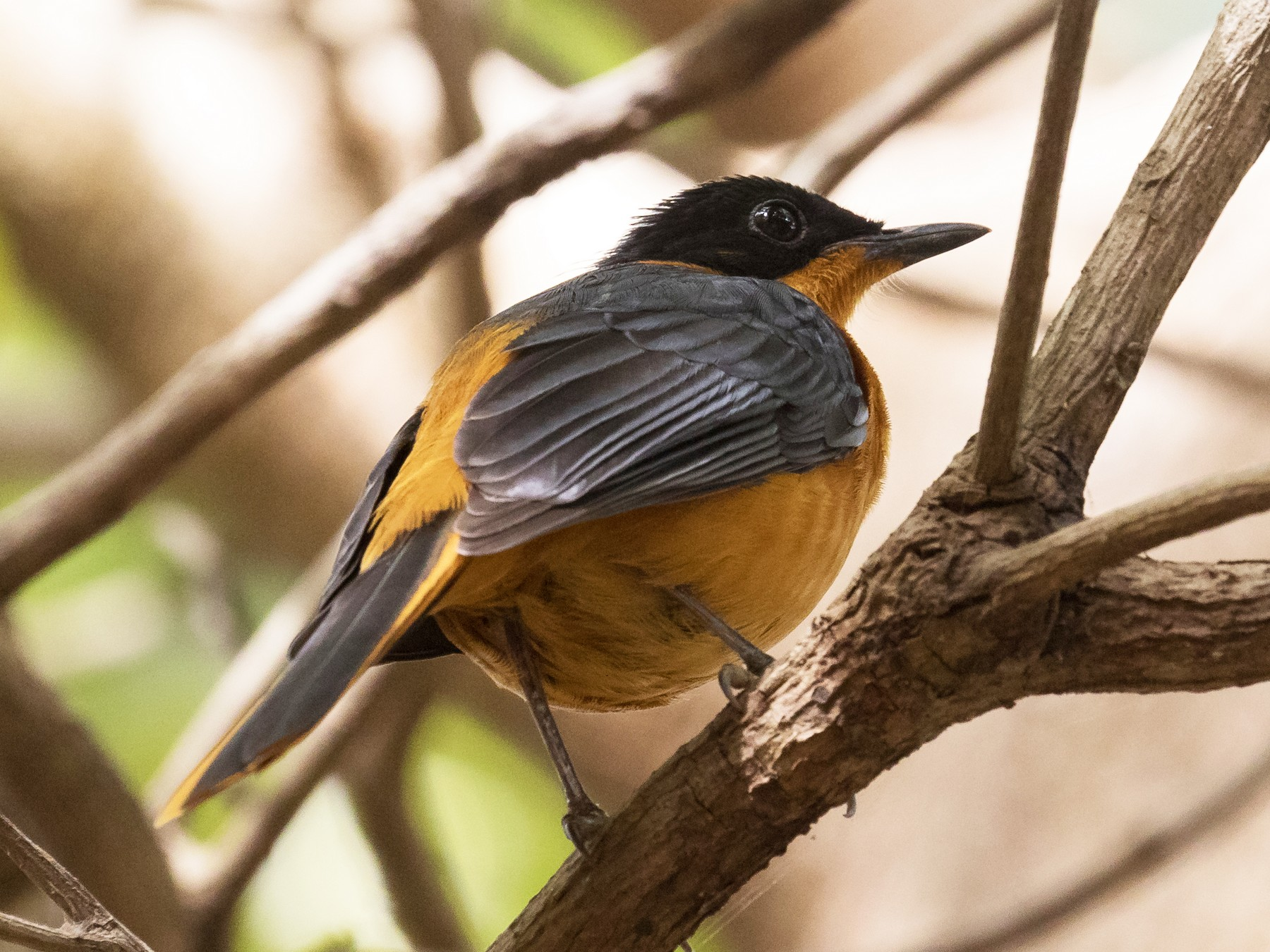 Snowy-crowned Robin-Chat - Peter Kennerley