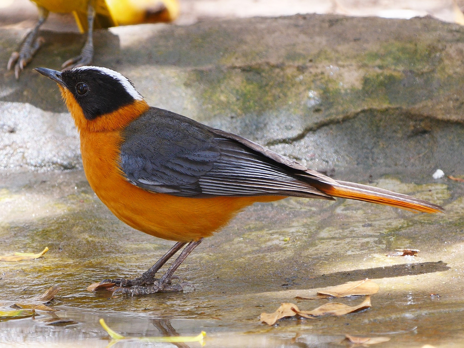 Snowy-crowned Robin-Chat - Josep del Hoyo