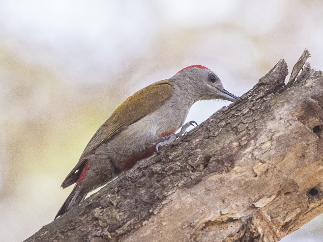 African Gray Woodpecker - H. Çağlar Güngör