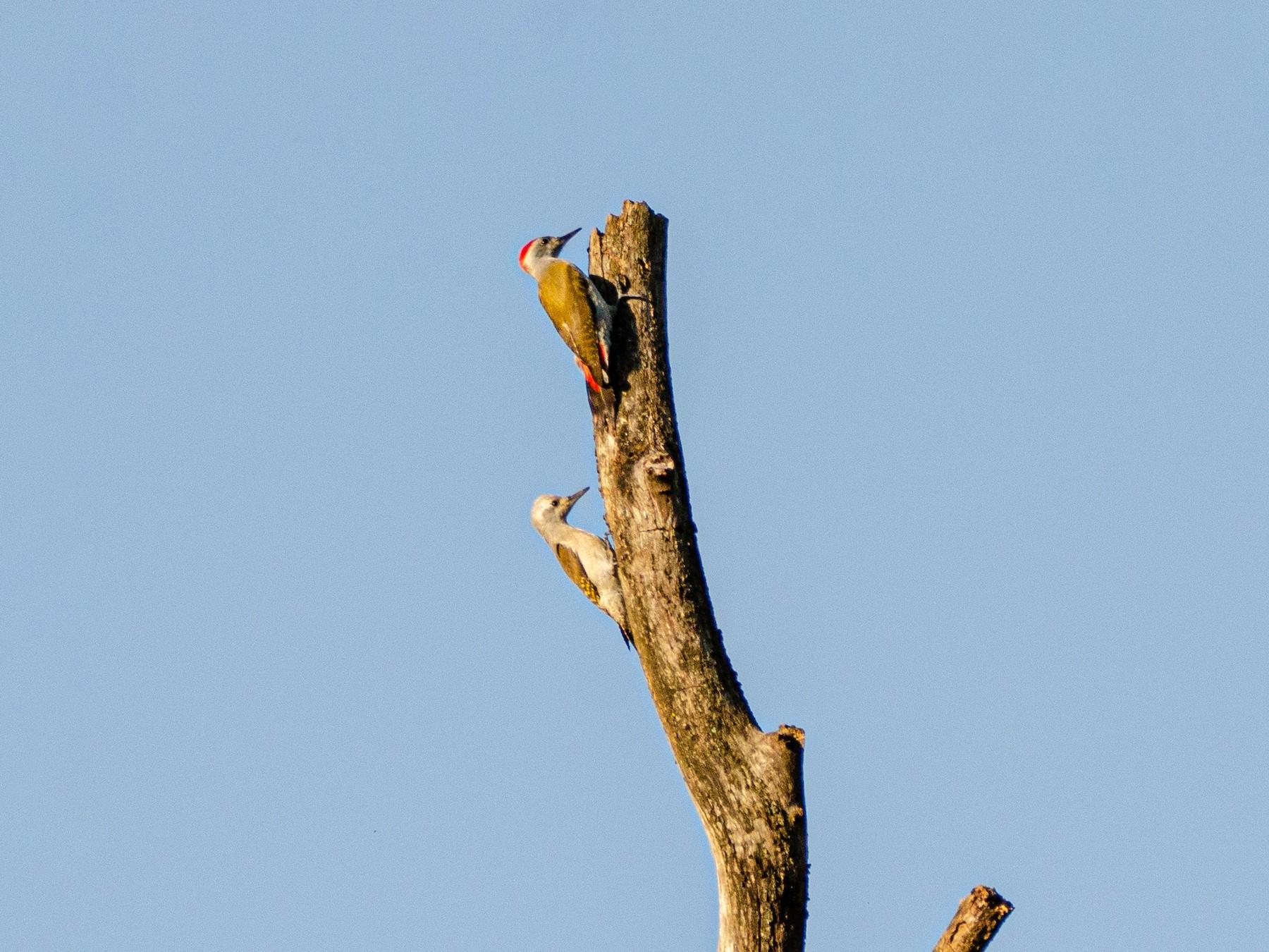 African Gray Woodpecker - Antoon De Vylder