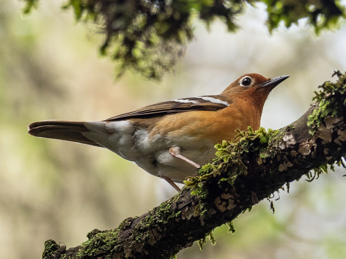 Abyssinian Ground-Thrush - Forest Jarvis