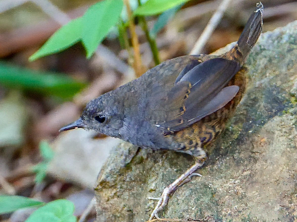 Brown-rumped Tapaculo - Mike Melton