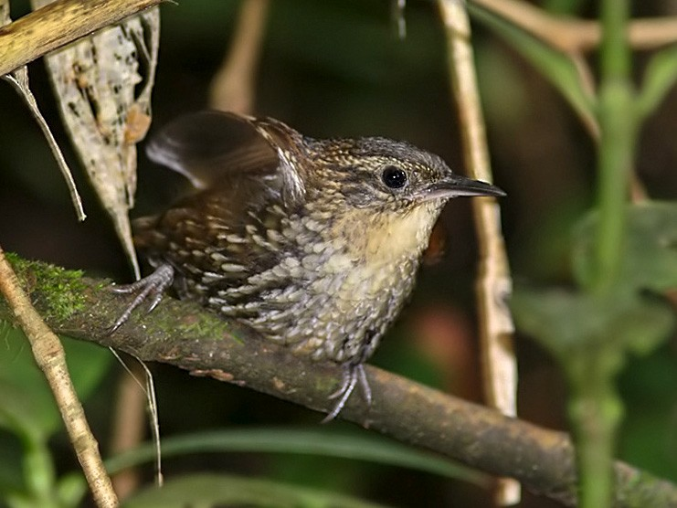 White-throated Barbtail - Lars Petersson