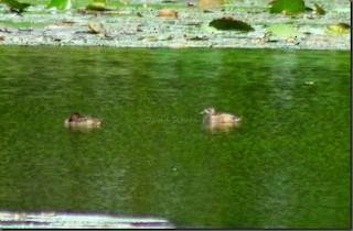 Ring-necked Duck, ML240935871