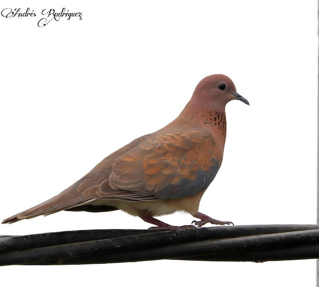 ©Andrés Rodriguez hornillo - Laughing Dove