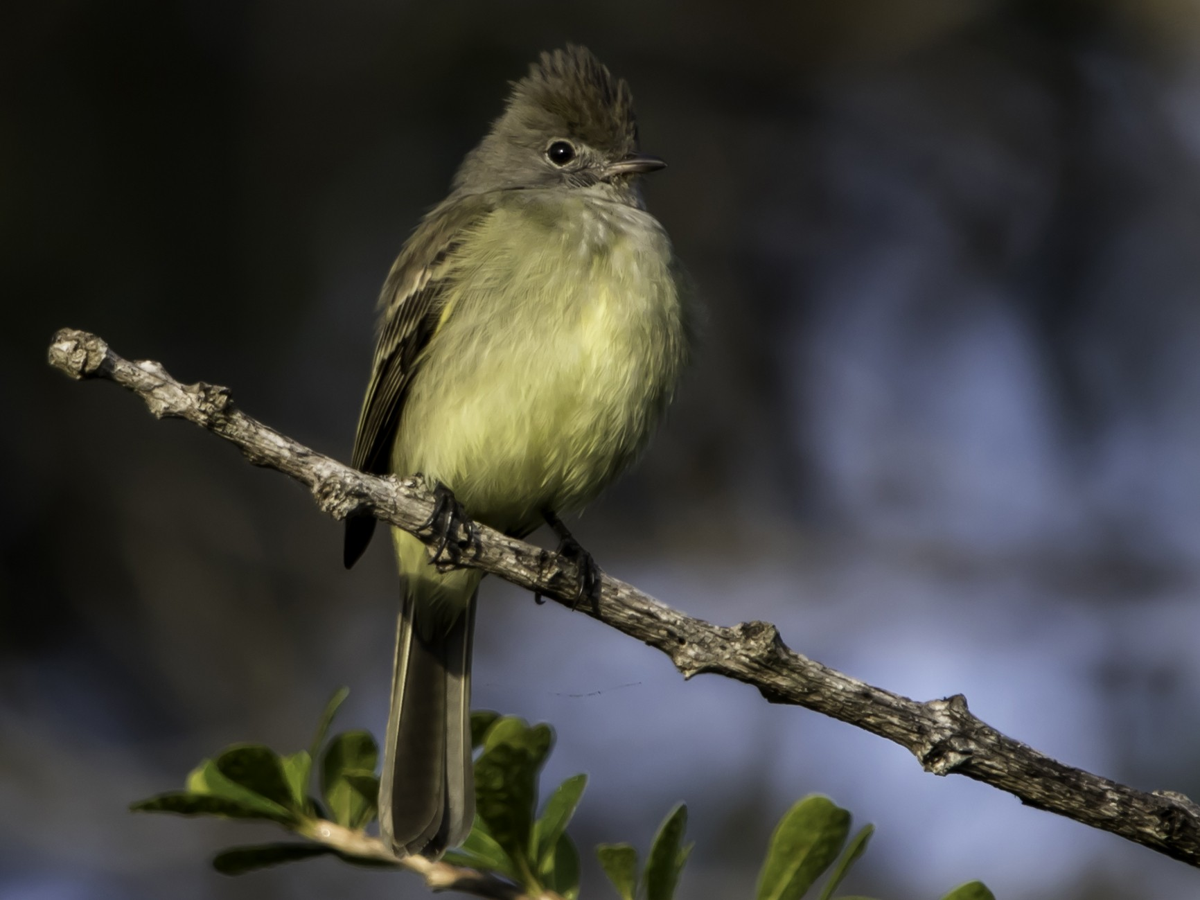 Yellow-bellied Elaenia - Jorge Eduardo  Ruano