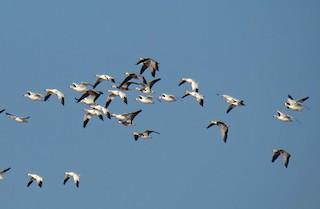 Snow Goose, ML24100651