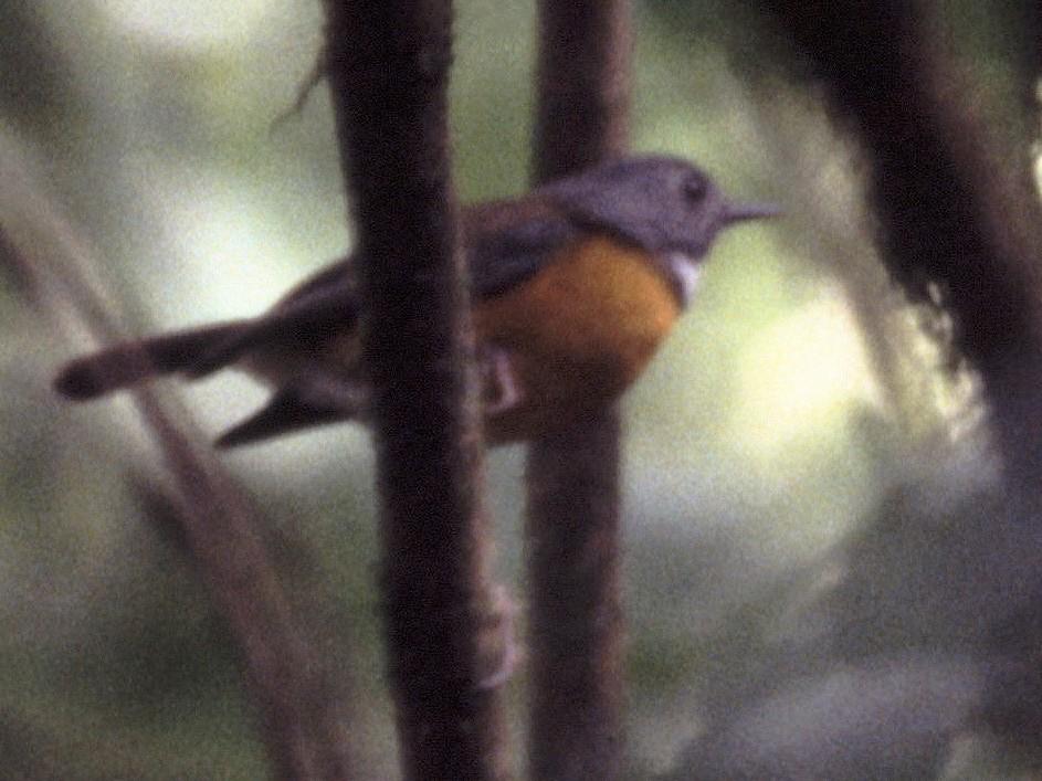 Swynnerton's Robin - Karl Overman
