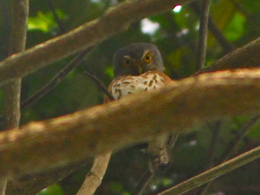 Red-chested Owlet - Don Roberson