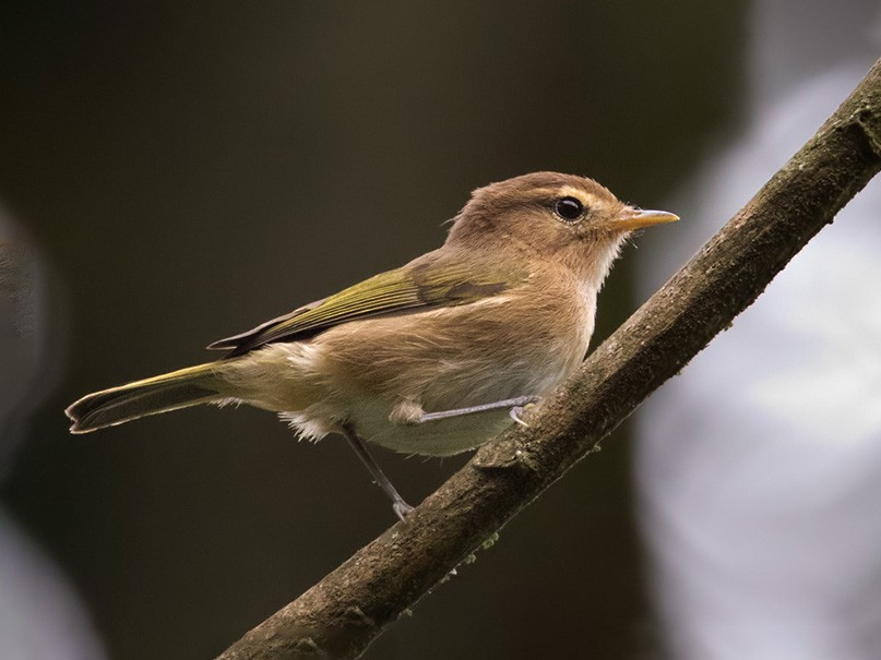 Brown Woodland-Warbler - Lars Petersson
