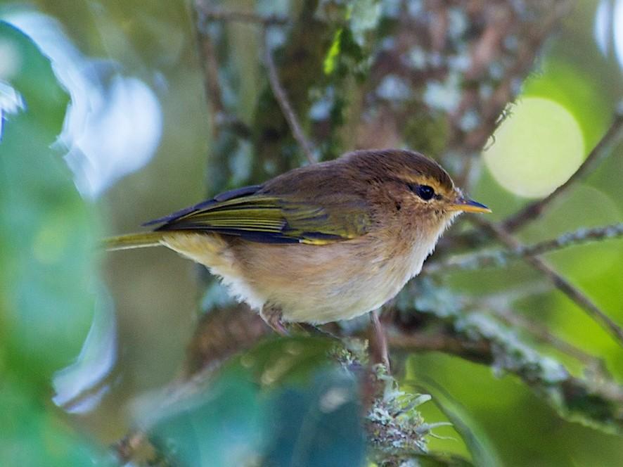 Brown Woodland-Warbler - John C. Mittermeier