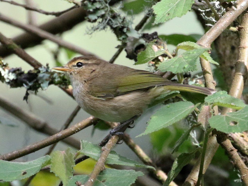 Brown Woodland-Warbler - Charley Hesse TROPICAL BIRDING