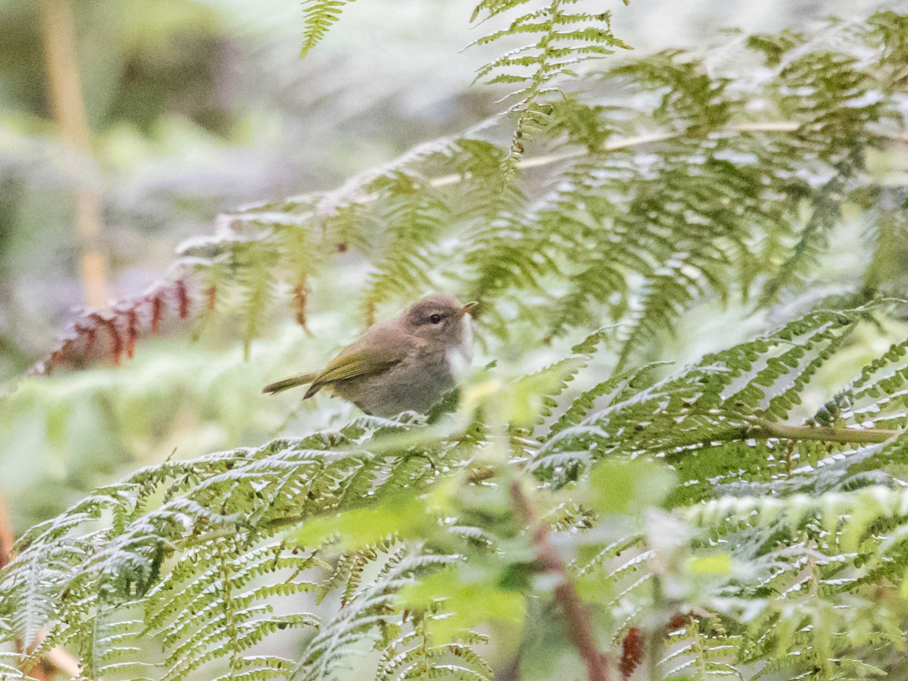 Brown Woodland-Warbler - Peter  Steward