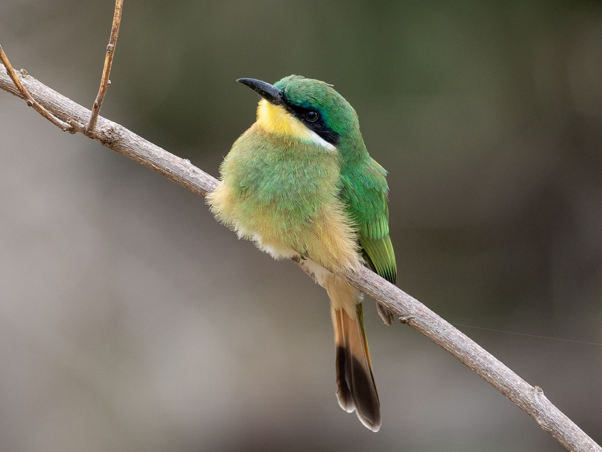Blue-breasted Bee-eater - Forest Jarvis