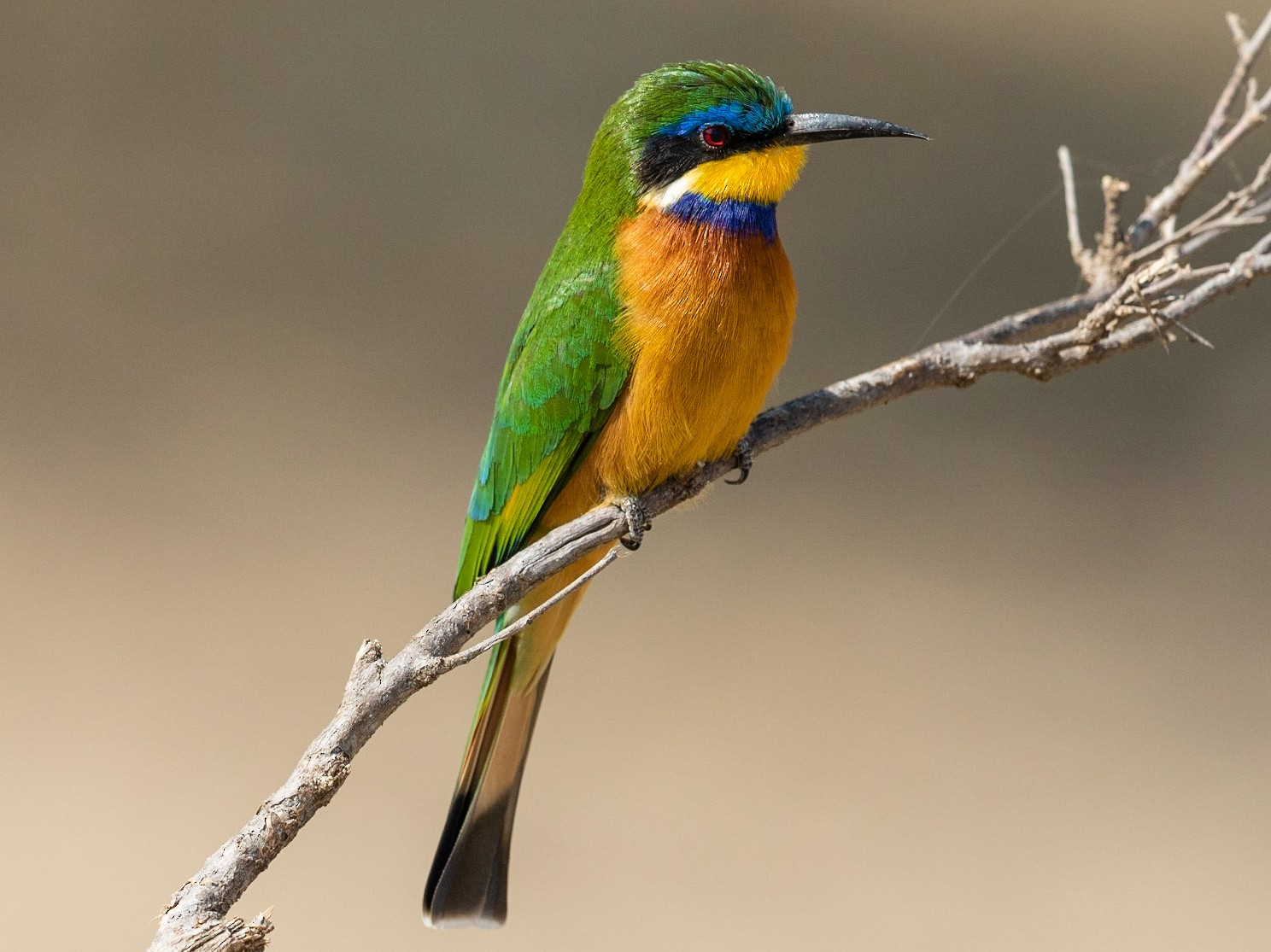 Blue-breasted Bee-eater - Stefan  Hirsch
