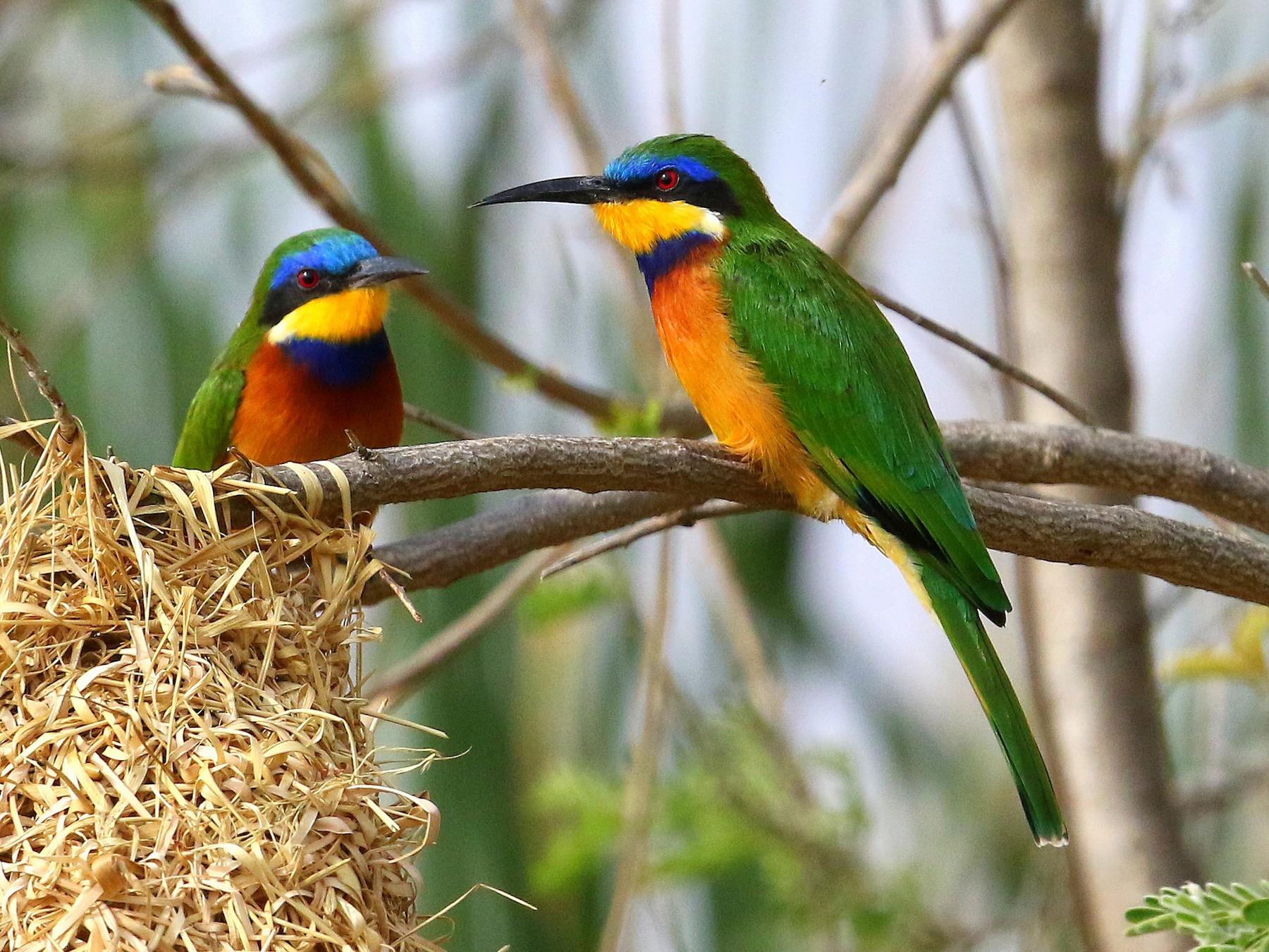 Blue-breasted Bee-eater - Fanis Theofanopoulos (ASalafa Deri)