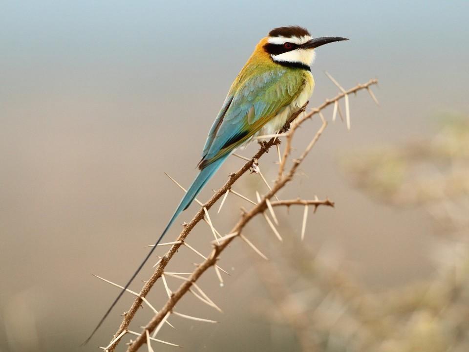 White-throated Bee-eater - Markus Lilje