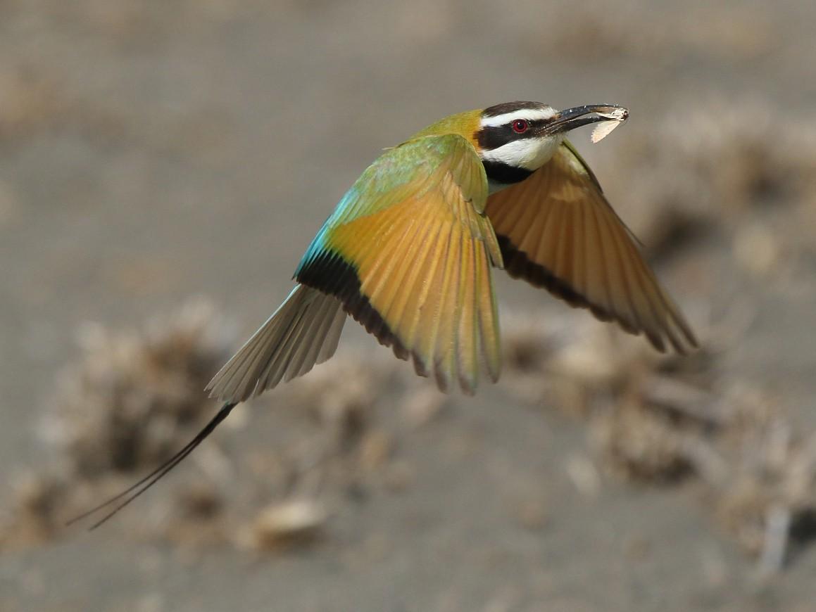 White-throated Bee-eater - Tadeusz Rosinski