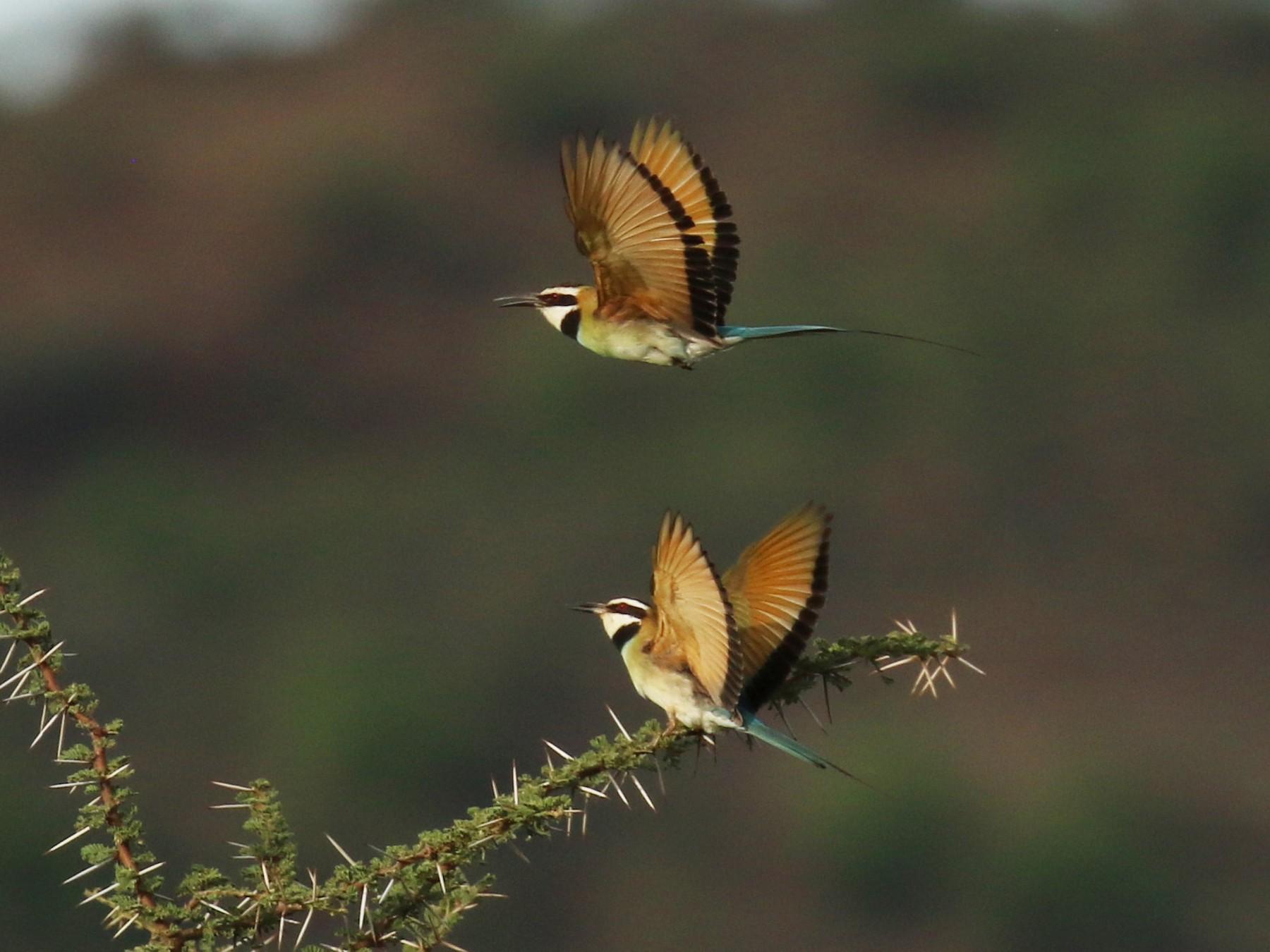White-throated Bee-eater - Fikret Ataşalan