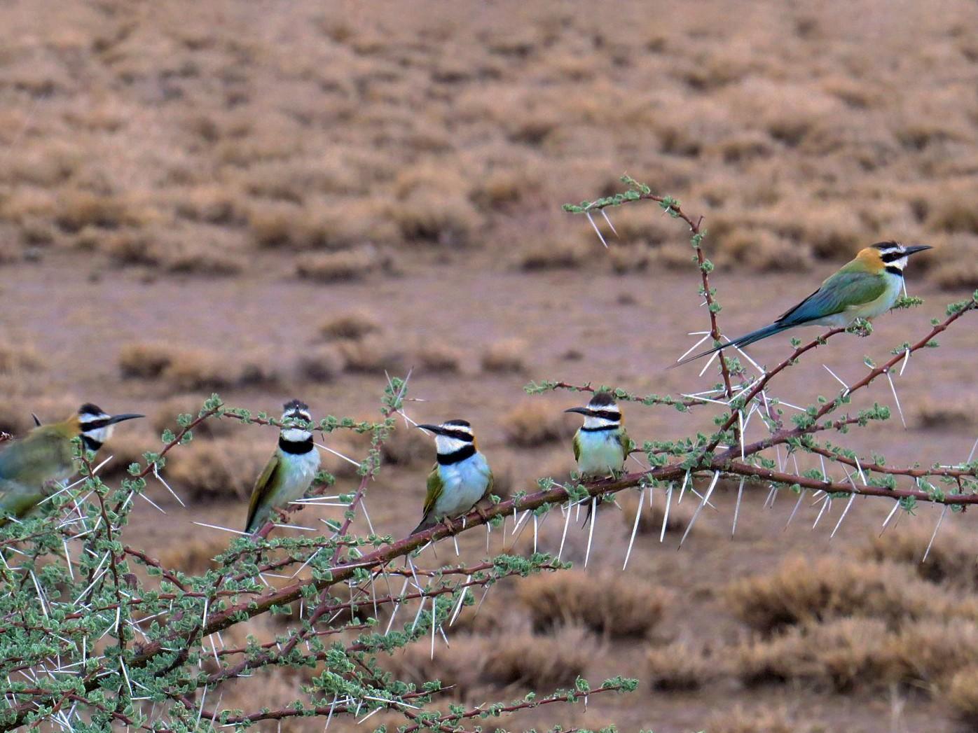 White-throated Bee-eater - Bob Greenleaf