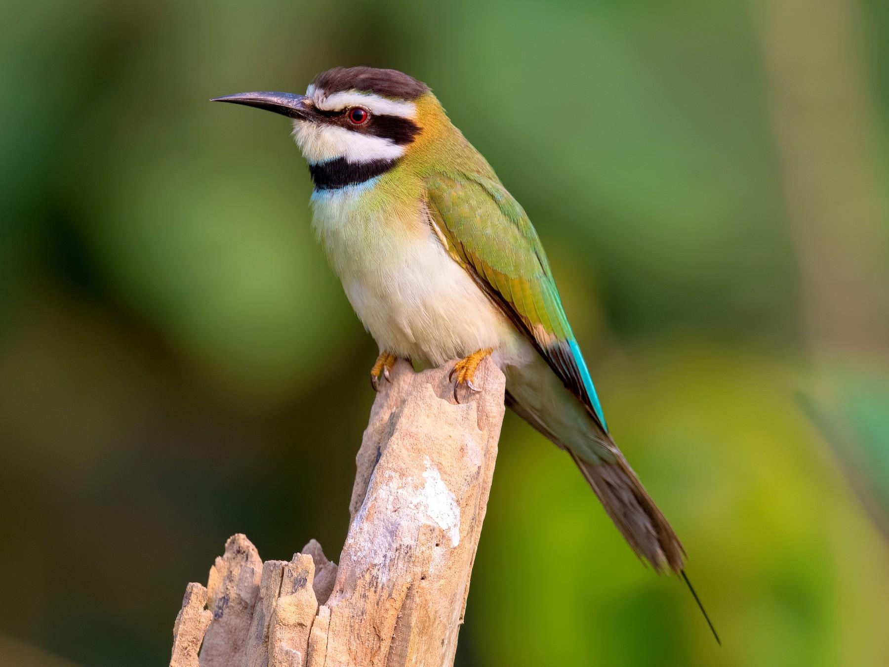 White-throated Bee-eater - Shailesh Pinto