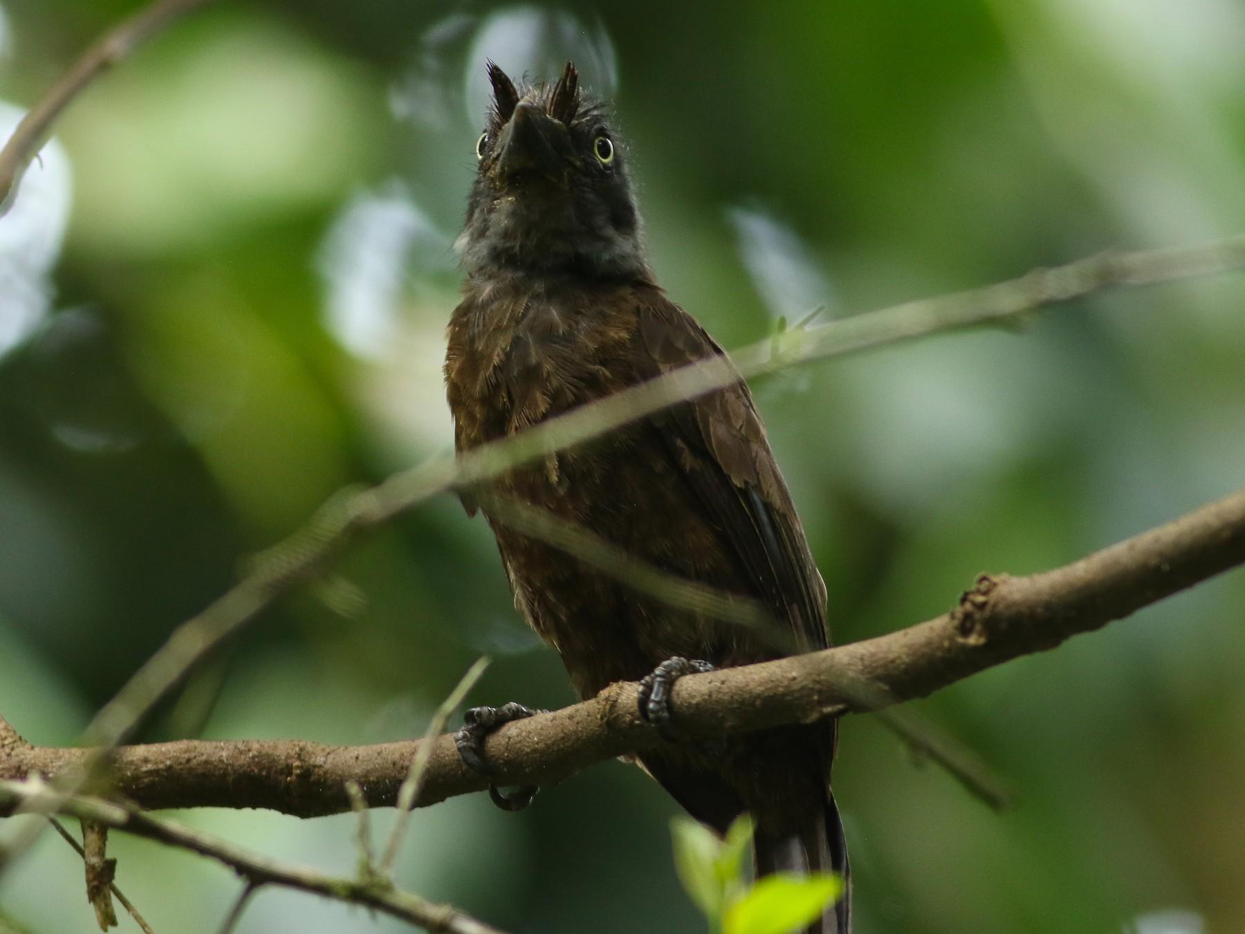 Gray-throated Barbet - Tong Mu