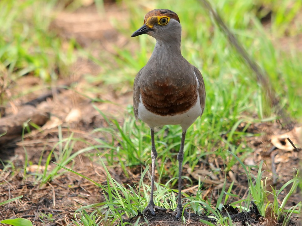 Brown-chested Lapwing - Augusto Faustino