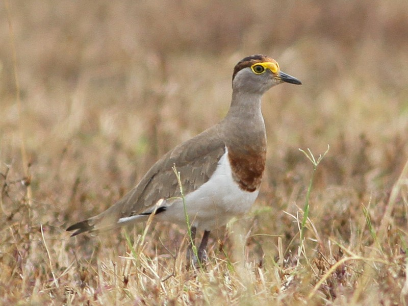 Brown-chested Lapwing - Tom Noah