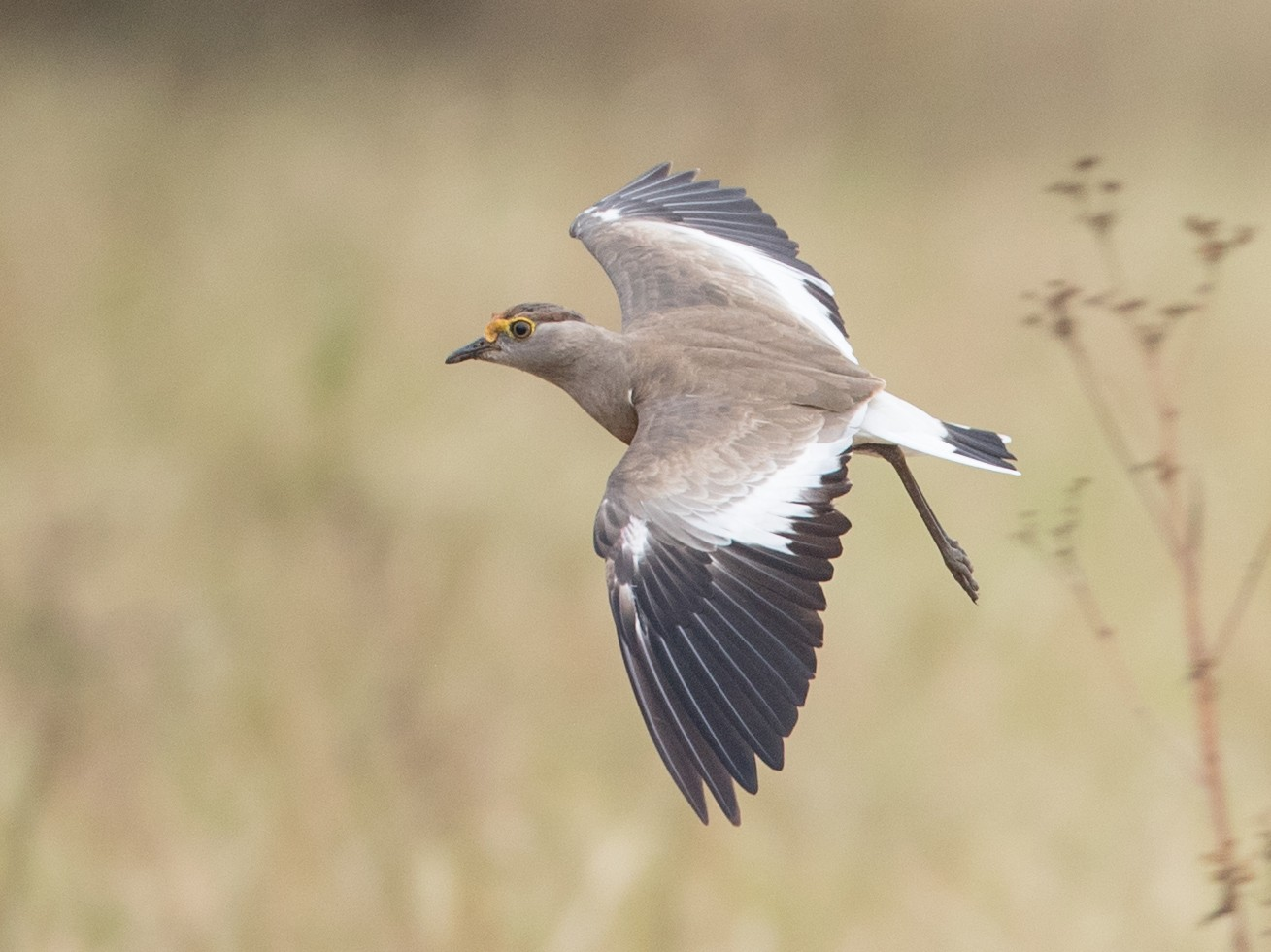 Brown-chested Lapwing - Ian Davies